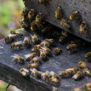 Dominica Bee Apiary at Ti Kwabye EcoKamp and Farm